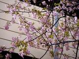 20110305_ららぽーとTOKYO-BAY_サクラ_桜_0950_DSC07961