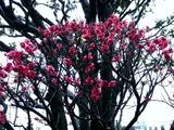 20110211_ららぽーとTOKYO-BAY_ウメ_梅_0952_DSC05696