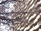 20110410_船橋市浜町2_三井ガーデンホテル_サクラ_1547_DSC07691
