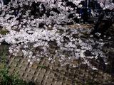 20110410_船橋市_海老川_サクラ_桜_1450_DSC07513