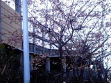 20110304_ららぽーとTOKYO-BAY_サクラ_桜_0750_DSC07640