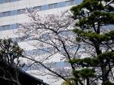 20110410_三井ガーデンホテル_喜翁閣_サクラ_桜_1543_DSC07676