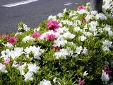 20110502_ららぽーとTOKYO-BAY前_ツツジ_0933_DSC09226