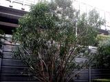 20110224_船橋市_ららぽーと_サザンカ_山茶花_0740_DSC07280