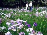 20110618_習志野市海浜香澄公園_菖蒲園_ショウブ_1007_DSC05109