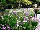 20110618_習志野市海浜香澄公園_菖蒲園_ショウブ_1005_DSC05095