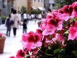 20110430_ららぽーとTOKYO-BAY_ハーバー通り_春_花_1311_DSC08718