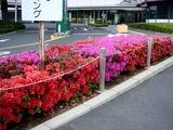 20110506_ららぽーとTOKYO-BAY前_ツツジ_0745_DSC00894