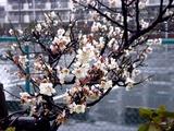 20110211_ららぽーとTOKYO-BAY_ウメ_梅_0953_DSC05707