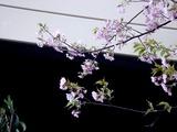20110304_ららぽーとTOKYO-BAY_サクラ_桜_0750_DSC07631