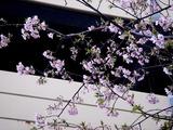 20110304_ららぽーとTOKYO-BAY_サクラ_桜_0750_DSC07633