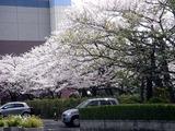 20110410_船橋市浜町2_三井ガーデンホテル_サクラ_桜_1356_DSC07357