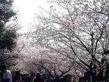 20110410_船橋市_海老川_サクラ_桜_1419_DSC07395