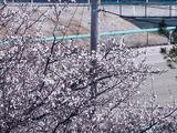 20110104_船橋市若松1_船橋競馬場_桜_1000_DSC00015