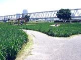 20110604_東京江戸川区小岩菖蒲園_ショウブ_1218_DSC03554