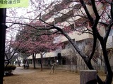20110206_船橋市本町4_本町児童公園_サクラ_1243_DSC05330