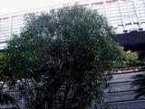 20110224_船橋市_ららぽーと_サザンカ_山茶花_0739_DSC07278