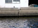 20110326_東日本大震災_船橋市栄町2_堤防破壊_1603_DSC08925