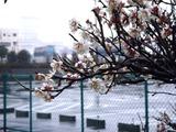 20110211_ららぽーとTOKYO-BAY_ウメ_梅_0953_DSC05706
