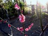 20110203_船橋市西船1_山野浅間神社_ウメ_梅_1603_DSC04906