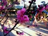 20110203_船橋市西船1_山野浅間神社_ウメ_梅_1604_DSC04916
