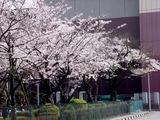 20110410_船橋市浜町2_三井ガーデンホテル_サクラ_桜_1355_DSC07349