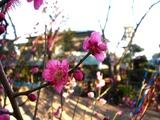 20110203_船橋市西船1_山野浅間神社_ウメ_梅_1603_DSC04912