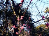 20110203_船橋市西船1_山野浅間神社_ウメ_梅_1602_DSC04903