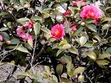20110115_習志野市_街路樹_サザンカ_山茶花_1215_DSC02213