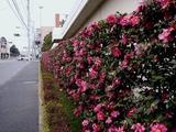 20110115_船橋市浜町2_ららぽーとTOKYO-BAY_サザンカ_山茶花_1304_DSC02401