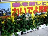 20110318_JR京葉線_JR南船橋_ナノハナ_菜の花_2112_DSC07621