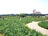 20110604_東京江戸川区小岩菖蒲園_ショウブ_1224_DSC03576