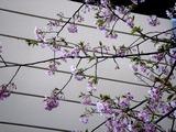 20110304_ららぽーとTOKYO-BAY_サクラ_桜_0750_DSC07632