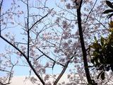 20110410_船橋市浜町2_三井ガーデンホテル_サクラ_1545_DSC07679