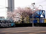20110415_船橋市浜町2_IKEA前_サクラ桜_0740_DSC07764