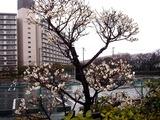 20110211_ららぽーとTOKYO-BAY_ウメ_梅_0952_DSC05698