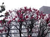20110211_ららぽーとTOKYO-BAY_ウメ_梅_0952_DSC05693