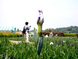20110604_東京江戸川区小岩菖蒲園_ショウブ_1223_DSC03574