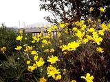 20110115_習志野市谷津_ユリオプステージー_花_1207_DSC02177