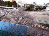 20110104_船橋市若松1_船橋競馬場_桜_1000_DSC00019