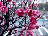 20110211_ららぽーとTOKYO-BAY_ウメ_梅_0953_DSC05699