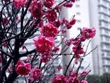 20110211_ららぽーとTOKYO-BAY_ウメ_梅_0953_DSC05703