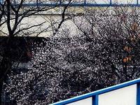 20111214_船橋市若松1_船橋競馬場_桜_サクラ_0746_DSC04973T