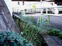 20110715_船橋市浜町1_京葉道路脇側溝_放射線量_1446_DSC09865