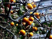 20111030_船橋市_習志野市_カキ_柿の木_1053_DSC08591