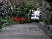 20111002_船橋市宮本9_ヒガンバナ_曼珠沙華_彼岸_1524_DSC06799