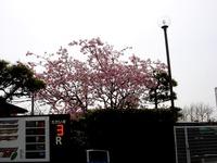 20130320_船橋市若松1_船橋競馬場_桜_1210_DSC06116