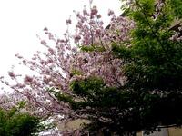20120421_船橋市本町4_本町中央児童公園_桜_さくら_1037_DSC09475