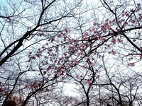 20120314_東京都台東区上野公園5_桜_花見_1700_DSC08307