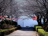 20120325_船橋市浜町2_三井ガーデンホテル_サクラ_桜_1147_DSC08371